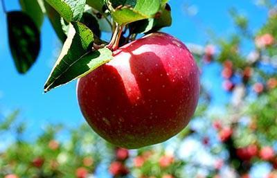 سیب دماوند یکی از سوغاتی تهران است.