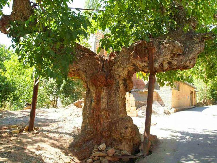 درخت تاریخی کمان رسم در شهمیرزاد بهشت ایران