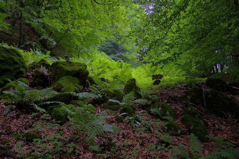 جنگل های هلی دار