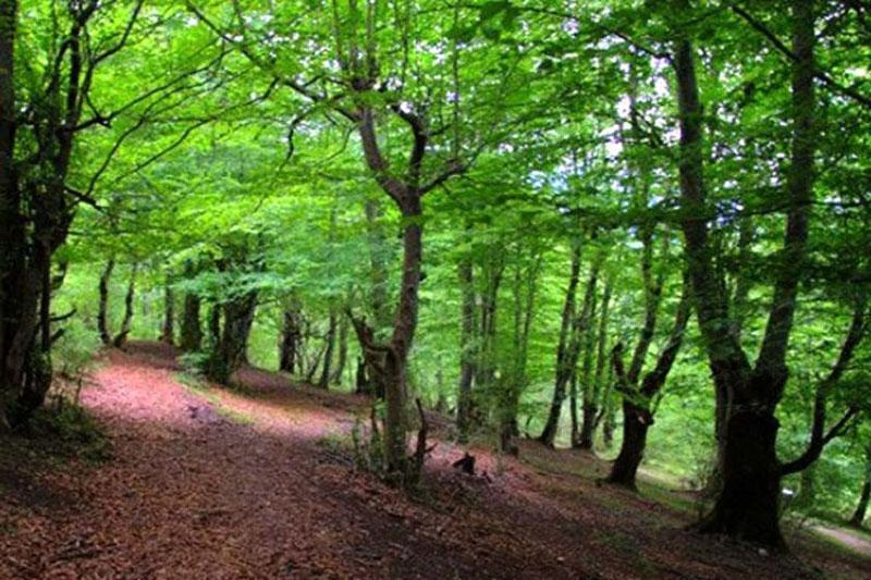 جنگل هلی دار مازندران