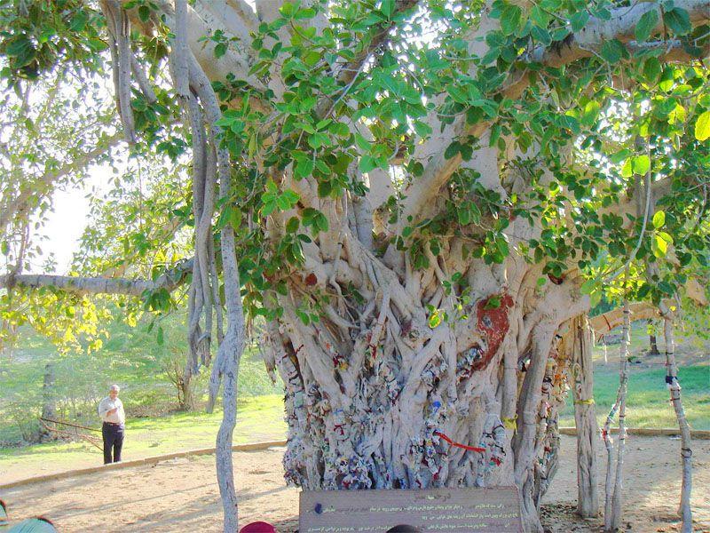 انجیر معابد یا درخت سبز (یا درخت لول یا لور) از جاذبه های دیدنی قشم